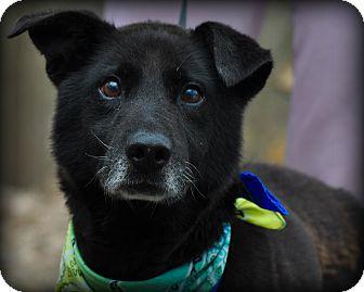 Labrador Retriever/Husky Mix Dog for adoption in Sparta, New Jersey - Harper