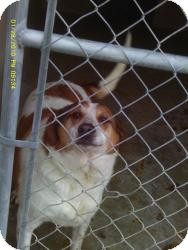 Hound (Unknown Type) Mix Dog for adoption in Falls Mills, Virginia - Babe