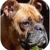 Adopt A Pet :: Ginger - Sunderland, MA