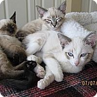 Adopt A Pet :: Siamese mix kittens - Vero Beach, FL