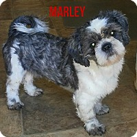 Adopt A Pet :: Marley - House Springs, MO