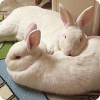 Mini Rex Mix for adoption in Moneta, Virginia - Puff and Gabriel