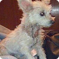 Adopt A Pet :: Cindi-ADOPTION PENDING - Boulder, CO