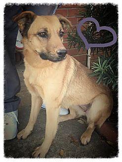 Shepherd (Unknown Type) Mix Dog for adoption in Groton, Massachusetts - Shep