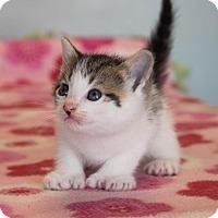 Adopt A Pet :: Felix $125 - Seneca, SC
