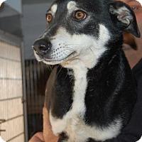 Adopt A Pet :: Piri - Brooklyn, NY