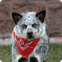 Australian Cattle Dog Mix Dog for adoption in Heber City, Utah - Spinner
