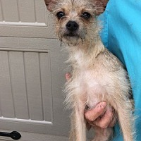 Chihuahua/Terrier (Unknown Type, Small) Mix Dog for adoption in Temecula, California - Ming Ming