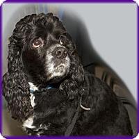 Adopt A Pet :: Roman - Parker, CO