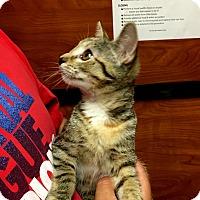 Adopt A Pet :: Ashley - Fairfax, VA