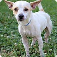 Adopt A Pet :: Bocephus Adoption Pending - Waldorf, MD