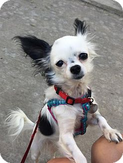 Chihuahua Dog for adoption in Fullerton, California - Oreo