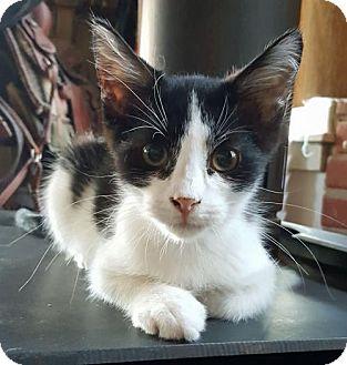Domestic Shorthair Cat for adoption in Denver, Colorado - Orio