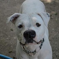American Bulldog Mix Dog for adoption in Ocoee, Florida - Chance
