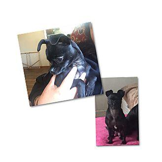 Pug/Chihuahua Mix Dog for adoption in South San Francisco, California - Stellaluna