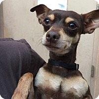 Adopt A Pet :: Mindy - Westminster, CA