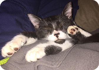 Domestic Shorthair Kitten for adoption in Edmonton, Alberta - Jasmine