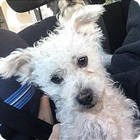 Adopt A Pet :: Popcorn - Encino, CA