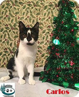 Domestic Shorthair Kitten for adoption in Huntsville, Ontario - Carlos - Adopted December 2016