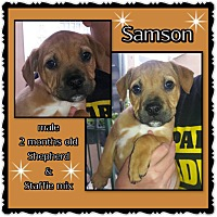 Adopt A Pet :: Samson - Richmond, CA