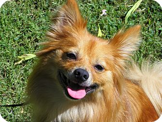 Pomeranian/Sheltie, Shetland Sheepdog Mix Dog for adoption in Hesperus, Colorado - ACE
