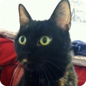 Domestic Shorthair Cat for adoption in Medford, Massachusetts - Sprinkles