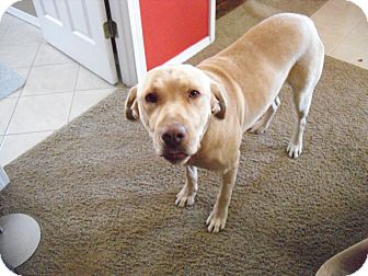 Labrador Retriever Mix Dog for adoption in Saint Louis, Missouri - Riley