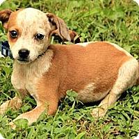 Adopt A Pet :: Padma - Brattleboro, VT