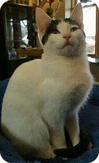 Domestic Shorthair Cat for adoption in Fenton, Missouri - Delilah