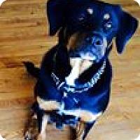 Adopt A Pet :: Louis - Palatine/Kildeer/Buffalo Grove, IL