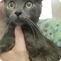 Domestic Shorthair Cat for adoption in Bedford, Indiana - Franny