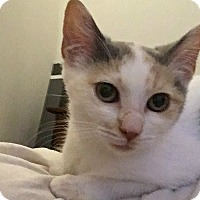 Domestic Shorthair Kitten for adoption in Durham, North Carolina - Zoe