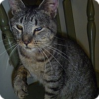 Domestic Shorthair Cat for adoption in Hamburg, New York - Heidi