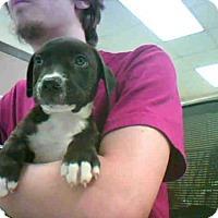 Adopt A Pet :: YORK - Conroe, TX