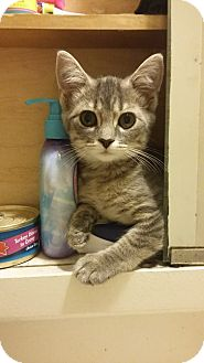 Domestic Shorthair Kitten for adoption in Mt. Pleasant, Pennsylvania - Dory