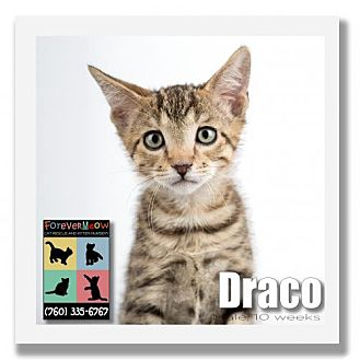 Domestic Shorthair Kitten for adoption in Palm Desert, California - Draco