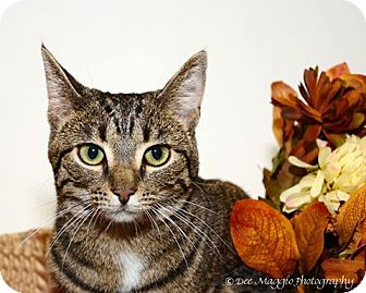 Domestic Shorthair Cat for adoption in Hazel Park, Michigan - Harmony