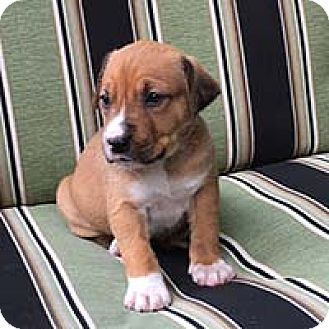 Labrador Retriever/American Pit Bull Terrier Mix Puppy for adoption in Chantilly, Virginia - Ripley's Pup Kaylee