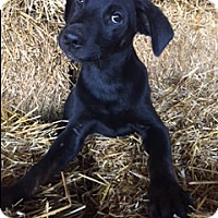 Labrador Retriever Mix Puppy for adoption in Hagerstown, Maryland - Dodson