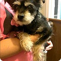 Norfolk Terrier Mix Dog for adoption in Cleveland, Tennessee - Alvin