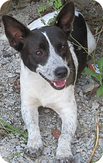 Jack Russell Terrier/Dachshund Mix Dog for adoption in Bay Springs, Mississippi - S1034   Buster