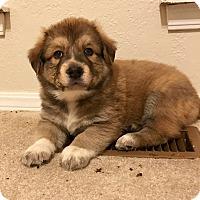 Adopt A Pet :: Reino - oklahoma city, OK
