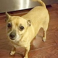 Chihuahua Mix Dog for adoption in Cincinnati, Ohio - Peanut