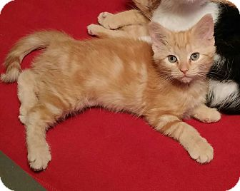 Domestic Shorthair Kitten for adoption in Taylor Mill, Kentucky - Maggie-Orange Mackerel
