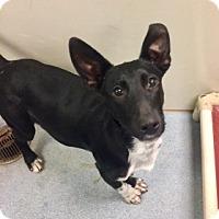 Adopt A Pet :: Ralph  Vtg 110744 - Joplin, MO