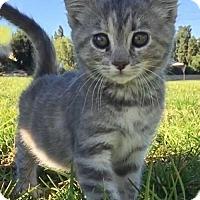 Adopt A Pet :: Lorelai - Orange, CA