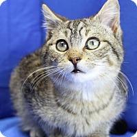 Adopt A Pet :: Stubby - Winston-Salem, NC