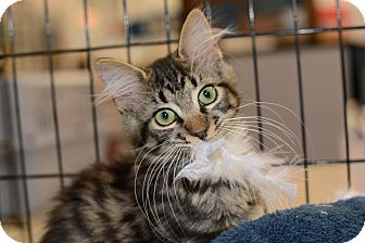 Maine Coon Kitten for adoption in Harrisburg, North Carolina - Jose' Manny