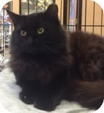 Domestic Mediumhair Cat for adoption in Modesto, California - Katherine