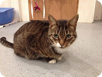 Domestic Shorthair Cat for adoption in Byron Center, Michigan - Brutus